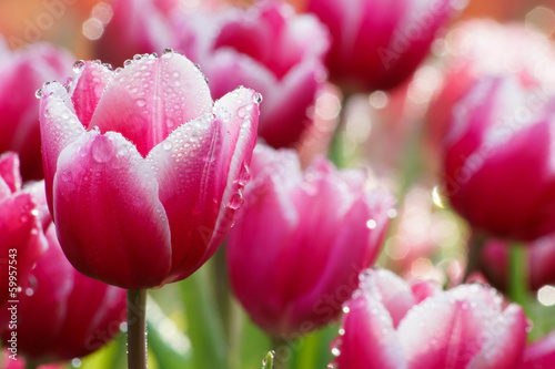 Water drop on pink tulip