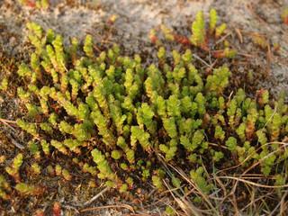 Sedum caustic (Sedum acre L. )