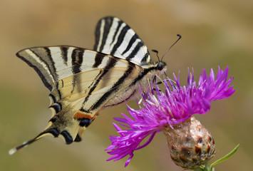 papillon flambé sur centauré