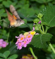 farfalla che succhia il nettare dei fiori di verbena