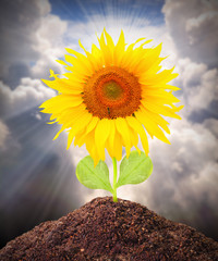 The Sunflower growing. Renewable resources concept.