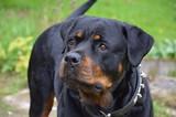 Black dog - 59963976
