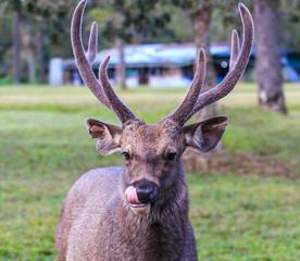 Wild deer at Phu Kradueng national park in Thailand