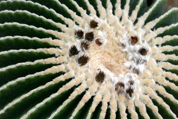pianta grassa cuscino della suocera