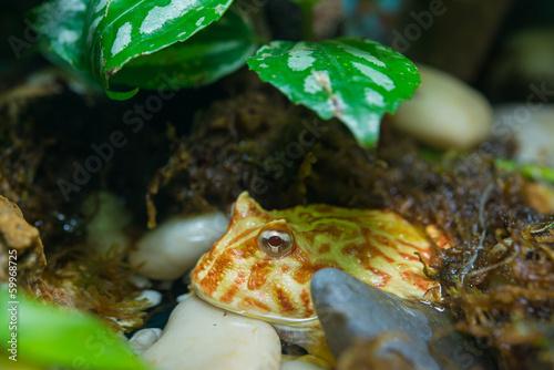 Ceratophrys ornata - 59968725