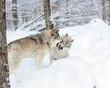 combat de loups gris