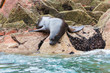 South American Sea lions relaxing on rocks of Ballestas Islands
