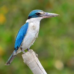 Collared kingfisher bird
