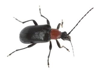 Red collared longhorn beetle, Dinoptera collaris