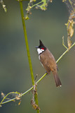 Red-whiskered bulbul bird in Nepal poster