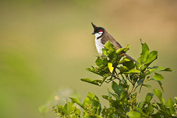 Red-whiskered bulbul bird in Nepal