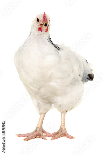 Hen on white background