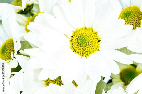 close-up chrysanthemum flower © lightofchairat
