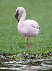Closeup of a beautiful Flamingo standing on one leg