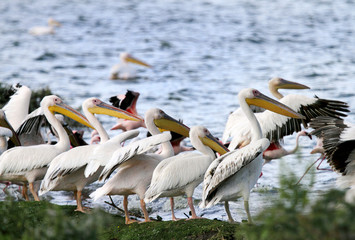 Beautiful Great white Pelicans on the bank of Naivasha Lake