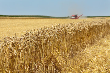 Agriculture, harvesting of wheat with combine in field