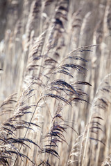 The background - dry yellow grass