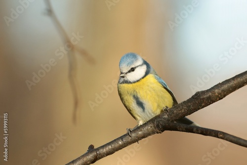 Blue tit (Parus caeruleus) on a twig in the autumn forest