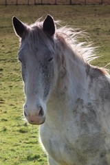 Un cheval blanc.