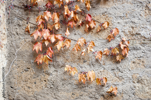 Red leafs on old wall