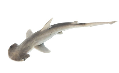 The bonnethead shark or shovelhead, Sphyrna tiburo, top view. Is