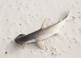 The bonnethead shark or shovelhead, Sphyrna tiburo, lying on the