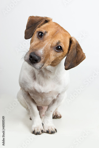 Jack Russell tilting his head