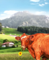 Happy cow eating a flower in a mountainous area