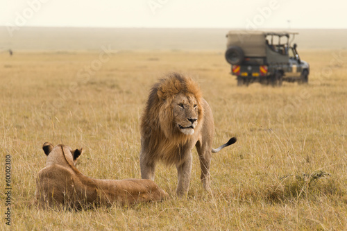 Foto op Canvas Leeuw African lion couple and safari jeep