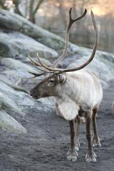 reindeer portrait in winter snow time
