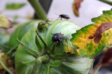 Cimice verde - cimice del pomodoro