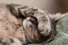 "Постер, картина, фотообои ""sleeping cat"""