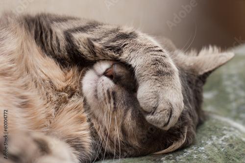 Poster sleeping cat