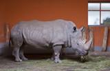 Rhino chews grass in a Zoo aviary poster