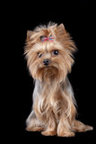 Yorkshire Terrier isolated on black background