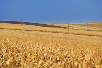 Yellow wheat field with power lines