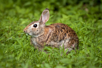 Wild eastern brown rabbit eating in green grass
