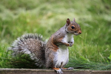 Eastern Gray Squirrel standing on a piece of wood