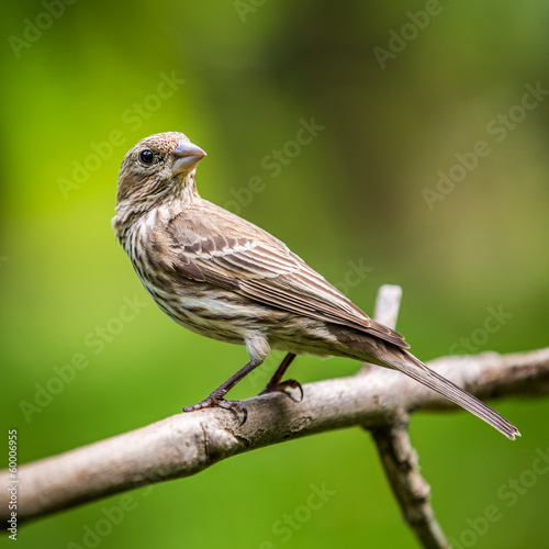 Adult female house finch perched on a branch
