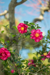満開の山茶花