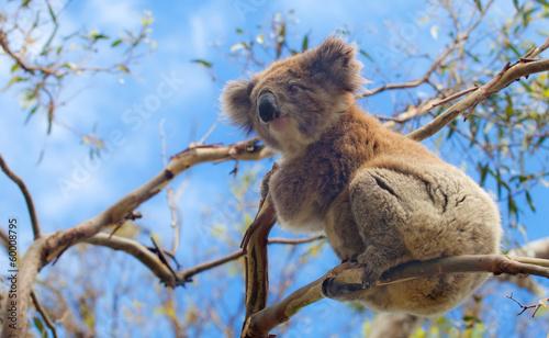 Foto op Aluminium Koala Koala in Great Ocean Road, Victoria, Australia