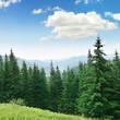 Beautiful pine trees