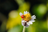 Ladybug on flower of grass
