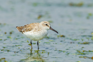 Broad-billed Sandpiper(Limicola falcinellus) finding some food