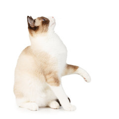 Snowshoe cat with a raised paw isolated on white