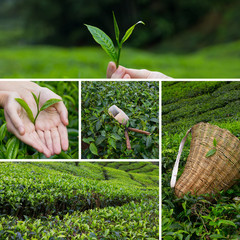 Beautiful collage of tea bushes on plantation