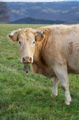 Front image of a cow grazing in the meadow