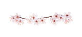 Branch of Japanese cherry with blossom, isolated on white - 60017338