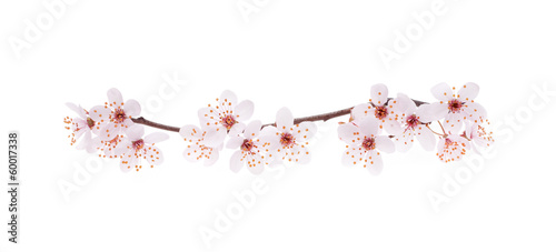 Fotobehang Kersen Branch of Japanese cherry with blossom, isolated on white