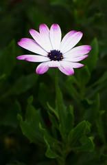 Purple beautiful head of a garden flower zinnia